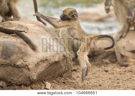 Playful Young Baboon Looking For Trouble In Nature Rock