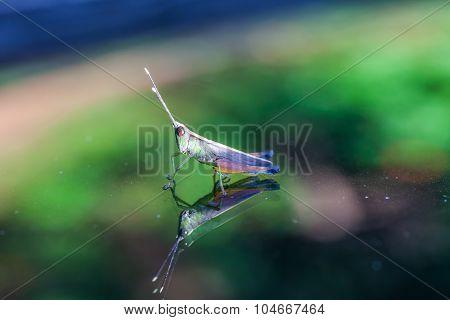 Grasshopper Perching On A Mirror