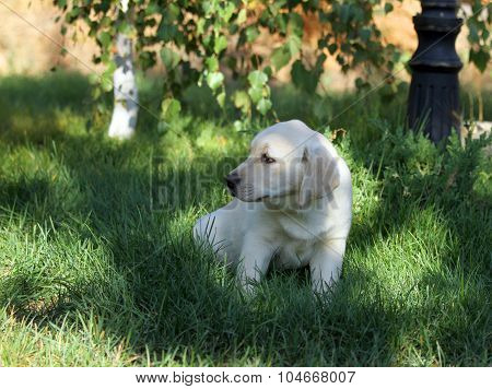 The Nice Yellow Labrador Puppy In Green Grass