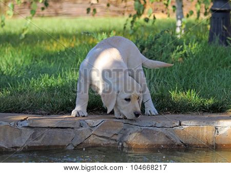 The Cute Nice Yellow Labrador Puppy In Green Grass