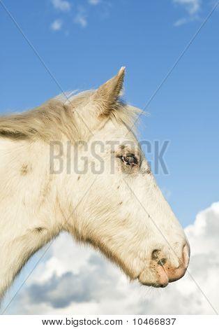 A beautiful white appaloosa foal in profile