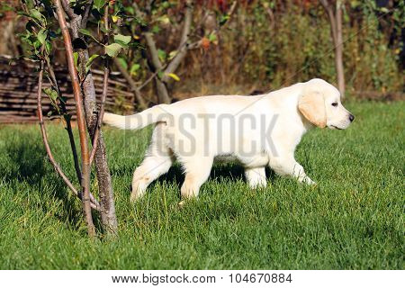 The Cute Nice Little Yellow Labrador Puppy In Green Grass