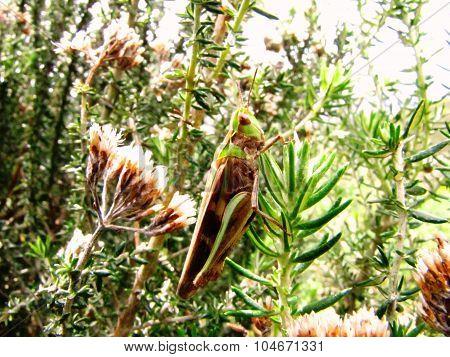 Acrididae Grasshopper