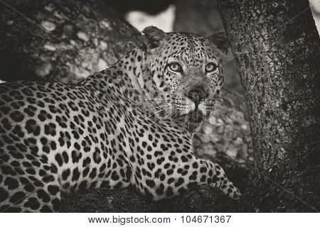 Leopard Lay Down In Tree To Rest And Relax Artistic Conversion