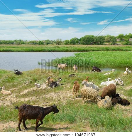Herd of goats on the lake