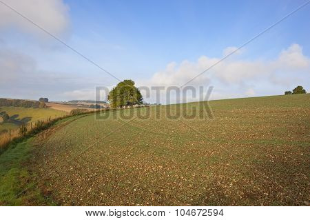 Cultivated Wheat Field