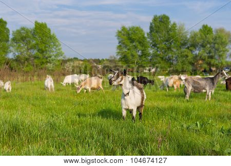 Ukrainian milk goats on a spring pasture