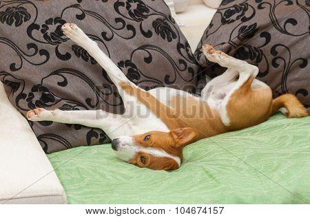 ?ute Basenji stretch itself on thesofa
