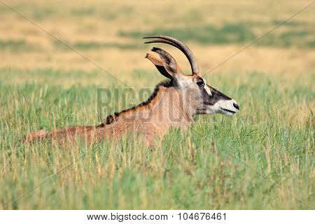 A rare roan antelope (Hippotragus equinus) resting in grassland, Mokala National Park, South Africa