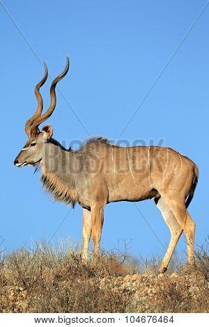 Big male kudu antelope (Tragelaphus strepsiceros) against a blue sky, Kalahari desert, South Africa