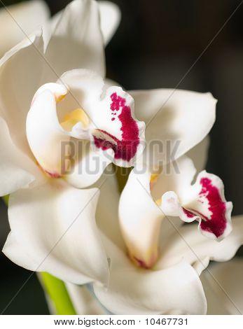Cymbidium Orchid Flower In Keukenhof