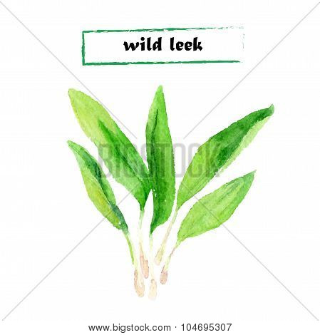 Vector illustration of wild leek