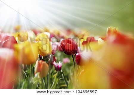Multicolor Tulips In The Morning Sun