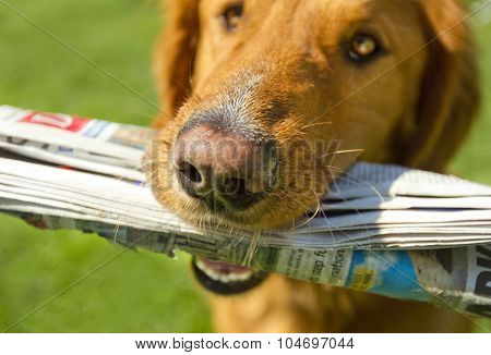 Golden Retriever Holding Newspaper