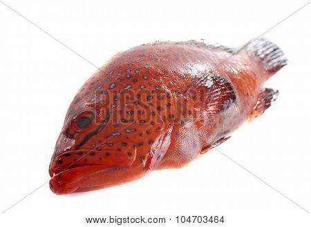 Coral Hind Fish