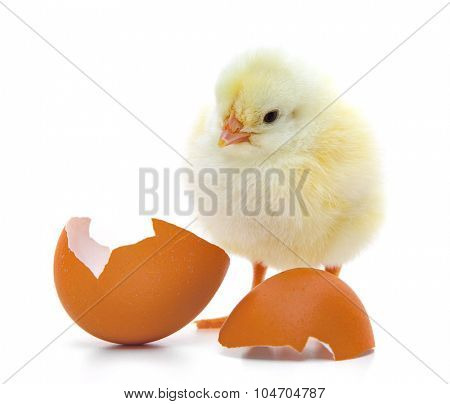 Cute little chick. All on white background.