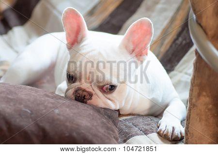 Sleepy French Bulldog