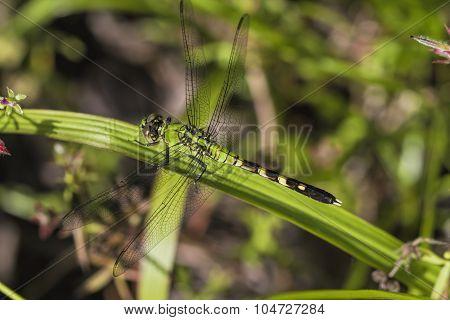 Green Eastern Pondhawk Dragonfly - Erythemis Simplicicollis