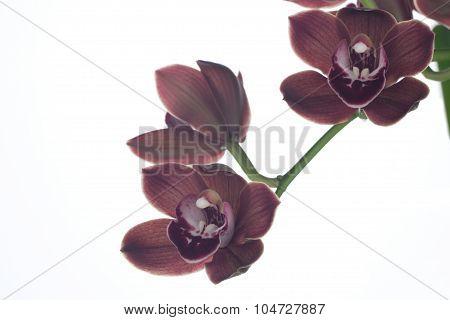 Orchid Flowers Over White (cymbidium Sp)