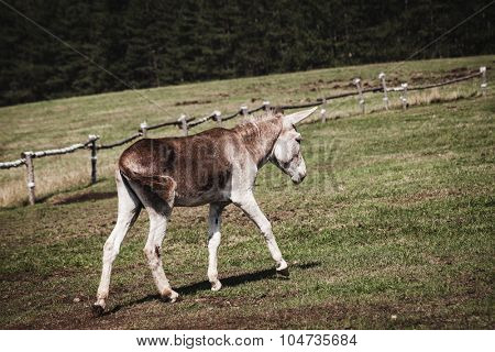 little donkey walk on pasture, side view, countryside  summer day
