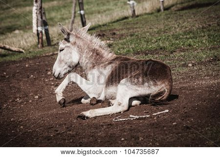 little donkey lie on pasture, side view,  summer day