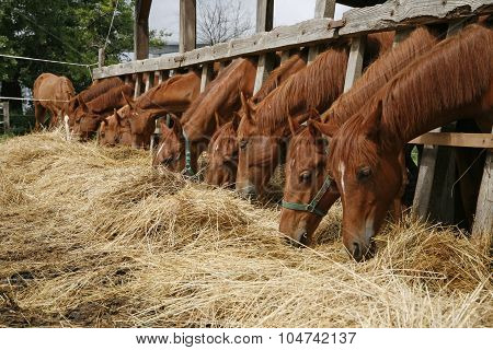 Beautiful Young Horses Sharing Hay On Horse Farm