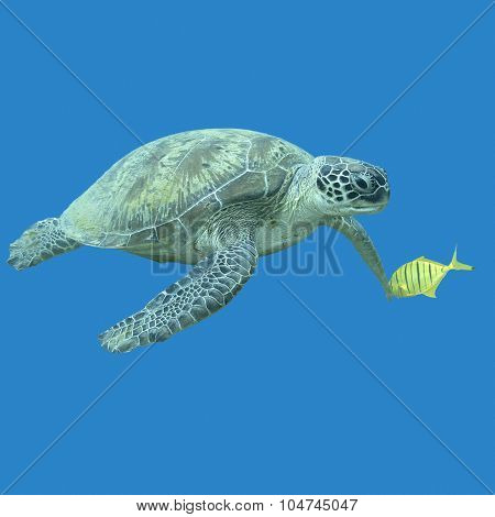 Single Great Turtle In Tropical Sea , Underwater