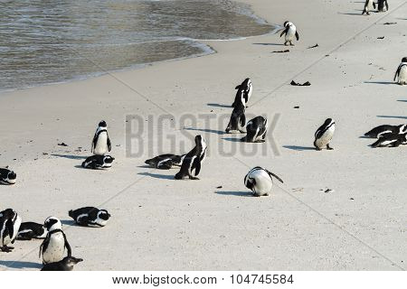 African Penguins At Simonstown (south Africa)