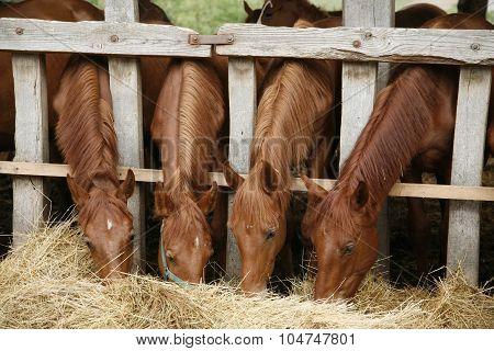 Four Beautiful Foals Eating Hay Rural Scene