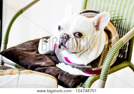French Bulldog On The Chair