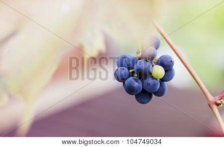Bunche Of Red Grapes In Autumn
