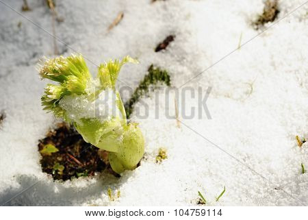 Plant In Snow
