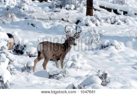 Venado bura en nieve Odocoileus Hemionus 3