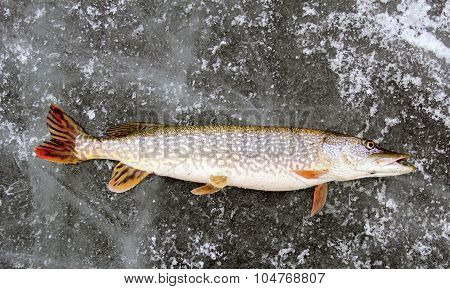 Northern Pike Ice Fishing