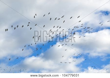Flying birds flock