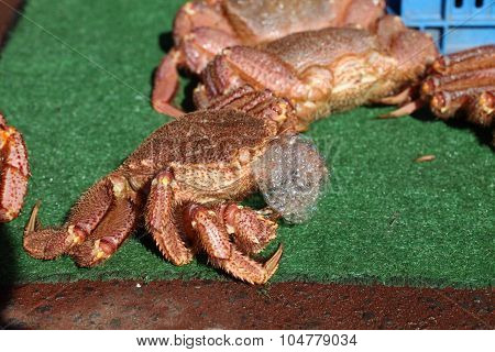 Fresh Crab On Synthetic Grass.
