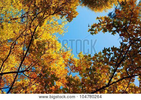 Maple tree  framework.
