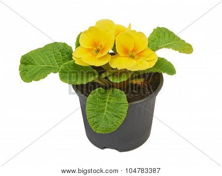 Primrose Yellow Flower Violet