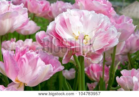 Pink Angelique Tulips