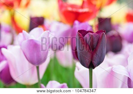 Claret Red Tulip