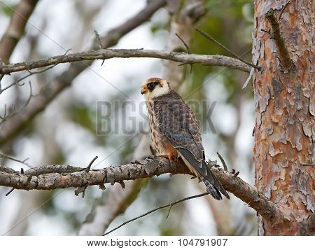 Red-footed Falcon (falco Vespertinus)