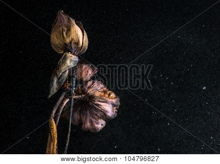 Dried Lotus