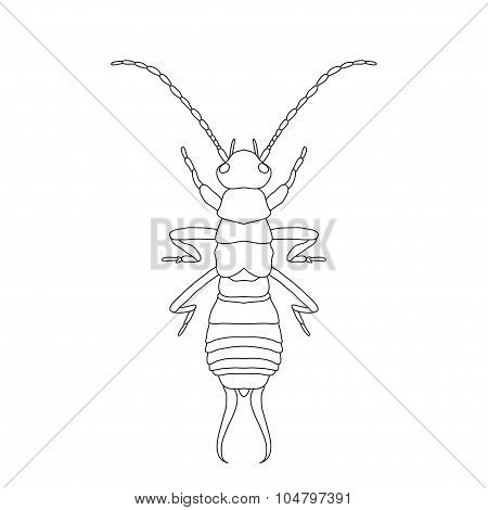 Forficula auricularia. Earwig. Sketch of Earwig.  Earwig isolated on white background.