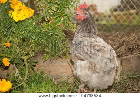 Free Range Chicken On A Lawn Pecking The Ground
