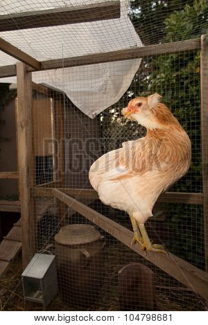 Amazing Hen On The Perch On The Hens House