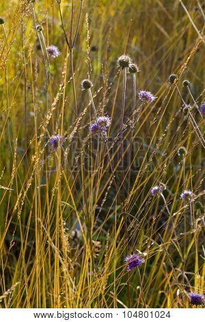 Moor Grass Molinia Caerulea And Lilac Scabiosa