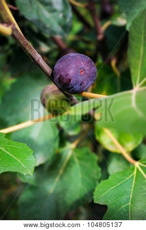 Ripe fig fruit on the tree attached to the branch