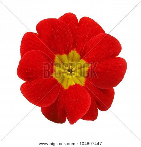 Primrose Red Flower Isolated