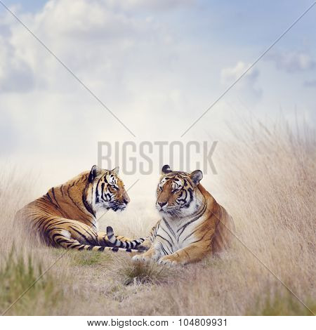 Two Tigers Resting in a Tall Grass