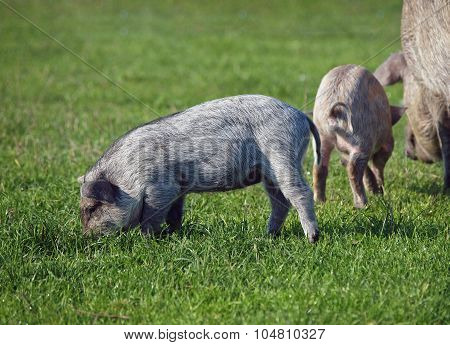 A sow with piglings grazes on a  meadow